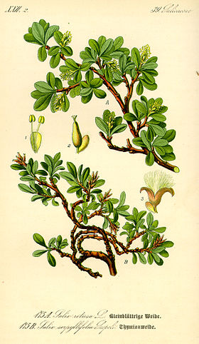 Illustration Salix serpyllifolia0.jpg
