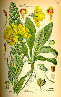 Illustration Verbascum phlomoides0.jpg