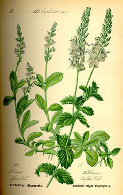 Ehrenpreis (Veronica officinalis und Veronica latifolia)