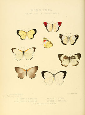 Illustrations of new species of exotic butterflies Pieris VIII & Anthocharis.jpg