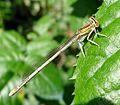 Immature Blue Featherleg female. Platycnemis pennipes - Flickr - gailhampshire.jpg