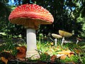 Impressive Amanita muscaria (GB= Fly Agaric, D= Fliegenpilz, F= Amanite tue-mouches, NL= Vliegenzwam) at Rozendaal. At this lane (Rosendaalselaan) each year lots of this Fly agaric grow at the Westside - panoramio.jpg