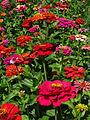 India - Ladakh - Leh - 086e - garden flowers (3909719270).jpg