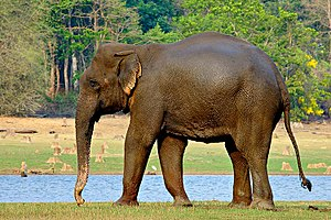 Wildlife of India - A female Indian elephant in Nagerhole National Park. India has the largest population of Indian elephants.