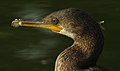 Indian Cormorant Phalacrocorax fuscicollis by Dr. Raju Kasambe DSCN4996 (4).jpg