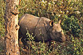 Indian Rhino (Rhinoceros unicornis) (19918706594).jpg