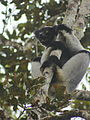 Indri in Andasibe 07.JPG