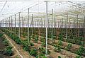 Invernadero pepinos.jpg