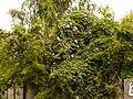 Ipomoea cairica (dkrb)-1.jpg