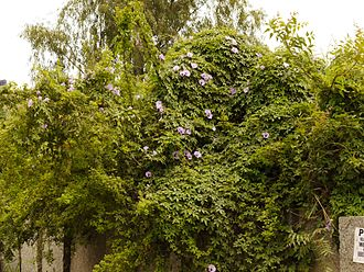 Ipomoea cairica - Image: Ipomoea cairica (dkrb) 1