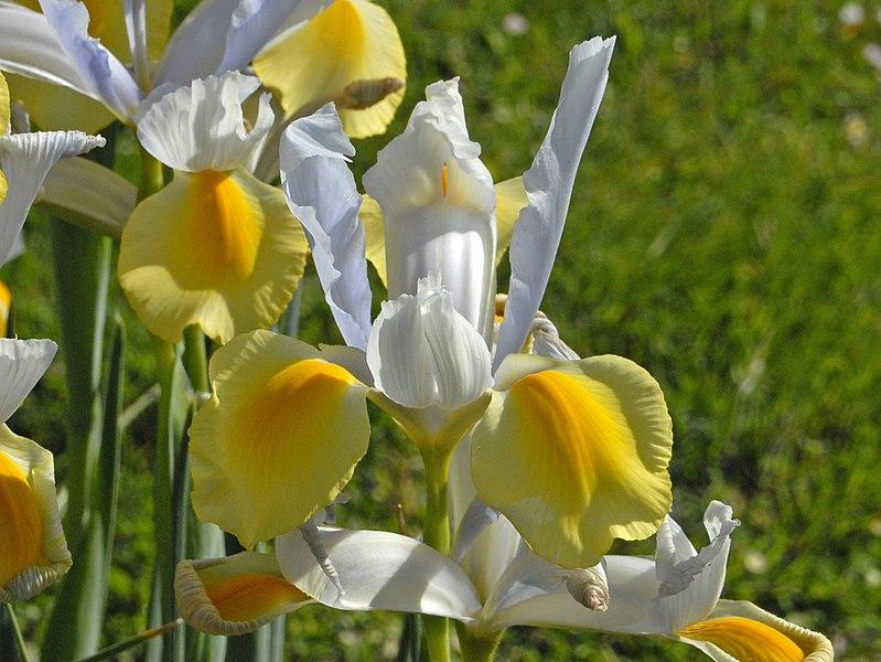 File:Iridaceae - Iris x hollandica.jpg