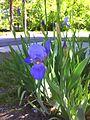 Iris Blooming.jpg