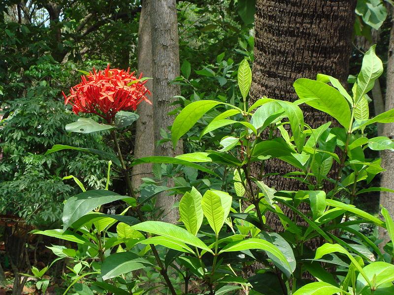File:Ixora chinensis.JPG