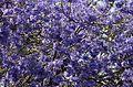 Jacaranda mimosifolia from anaimalai hills JEG6066.jpg