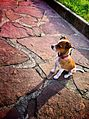 Jack Russell Terrier on a stone path.jpg