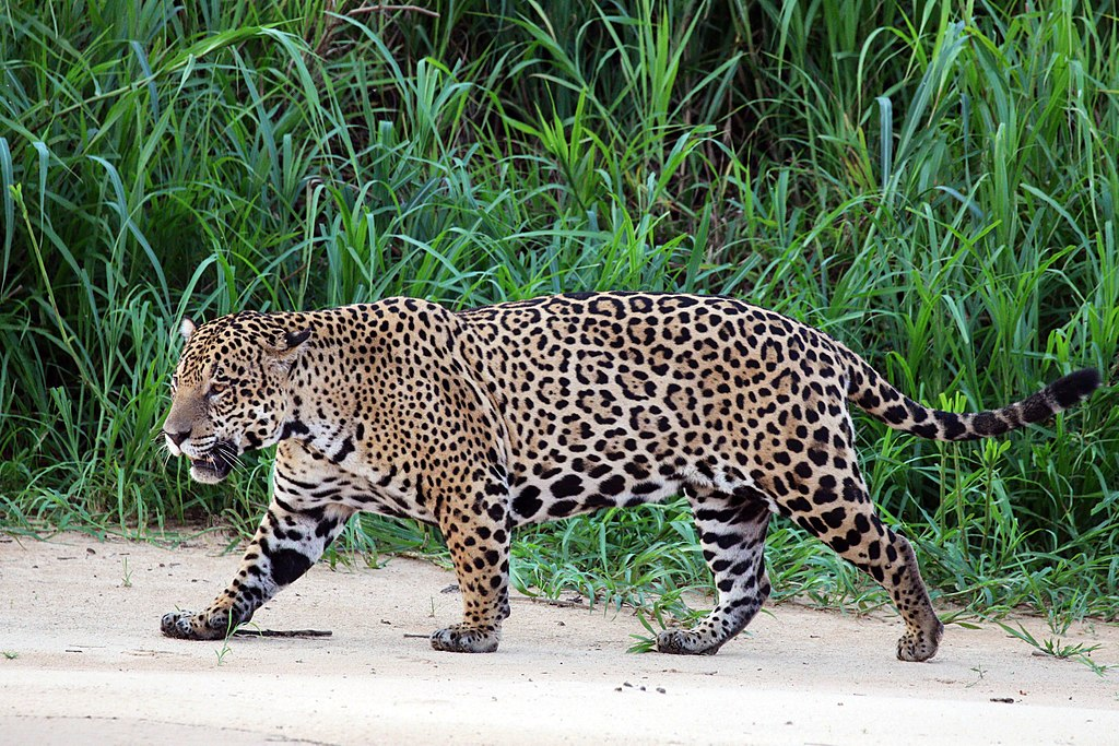"""""""Jaguar (Panthera onca palustris) male Three Brothers River"""" by Charlesjsharp - Own work, from Sharp Photography, sharpphotography. Licensed under CC BY-SA 4.0 via Wikimedia Commons - https://commons.wikimedia.org/wiki/File:Jaguar_(Panthera_onca_palustris)_male_Three_Brothers_River.JPG#/media/File:Jaguar_(Panthera_onca_palustris)_male_Three_Brothers_River.JPG"""