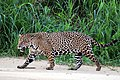 Jaguar (Panthera onca palustris) male Three Brothers River.JPG