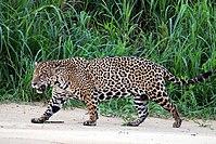 Jaguar/