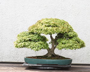 A Japanese Maple (Acer palmatum) bonsai on dis...