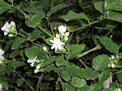 Bunga melati putih (Jasminum sambac Air.)