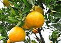 Jeruk keprok (citrus reticulata).jpg