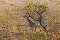 Jirafa (Giraffa camelopardalis), parque nacional Kruger, Sudáfrica, 2018-07-25, DD 18.jpg