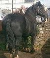Jument bretonne noire (1).jpg