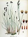 Juncus alpinus — Flora Batava — Volume v17.jpg