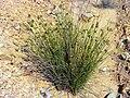Juncus effusus Habitus ValledeAlcudia.jpg