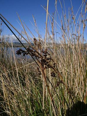 Juncus kraussii - Juncus kraussii subsp. australiensis