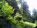 June Grüne Hölle Bergwälder Glottertal - Mythos Black Forest Photography 2013 green mountain forest - panoramio (6).jpg