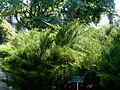 Juniperus horizontalis.jpg