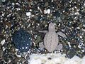 Just hatched sea turtle, Guantanamo -b.jpg
