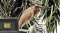 Juvenile Black Crowned Night Heron in Pasay 003.jpg