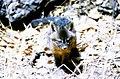 Juvenile island fox, Santa Cruz Island, feb 1973 (26252570284).jpg