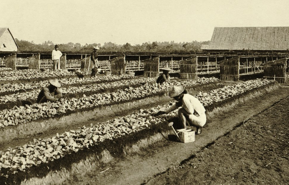 KITLV - 78321 - Kleingrothe, C.J. - Medan - Coolies working in the seed beds on a tobacco plantation of the Amsterdam Deli Company in Medan, Sumatra - circa 1900