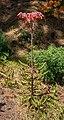 Kalanchoe × houghtonii - Funchal 01.jpg
