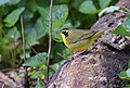 Kentucky Warbler (34562405685).jpg