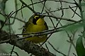 Kentucky Warbler (male) Fall Out Sabine Woods TX 2018-04-08 12-54-33 (41443127712).jpg