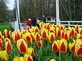 Keukenhof tulip 01.jpg