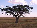 Kigelia africana - sausage tree.JPG