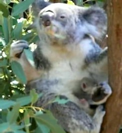 Plik:Koala with young.ogv