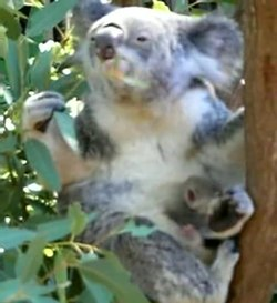 Slika:Koala with young.ogv