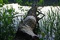 Kopra näritud puu Sõdaalonõ järve ääres.JPG