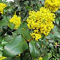Korina 2013-03-30 Mahonia aquifolium 5.jpg