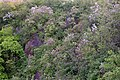Korina 2017-05-07 Syringa vulgaris 1.jpg
