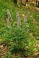 Kozinecká stráň - třemdava bílá (Dictamnus albus).jpg