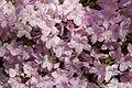Kurume Azalea - National Rhododendron Gardens, Olinda, Victoria Australia (6226019388).jpg