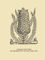 L'ananas in André Thevet.- Les singularitez de la France antarctique, 1558.png