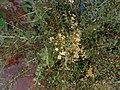 LAWSONIA INERMIS LINN flowers Marudhaniflowers.jpg